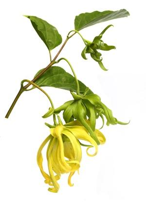 perfumed: Ylang-Ylang Flower