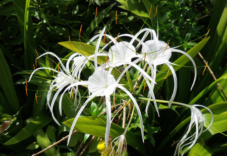 crinum lily cape lily poison bulb spider lily crinum asiaticum