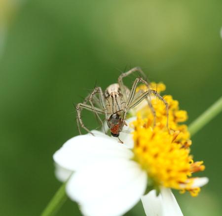 tibellus: spider