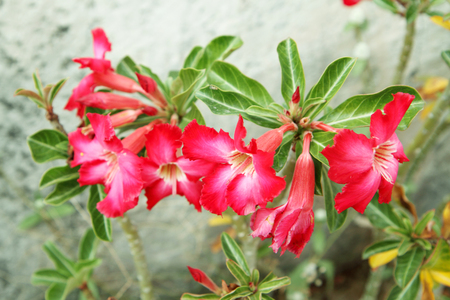 Adenium flower  photo