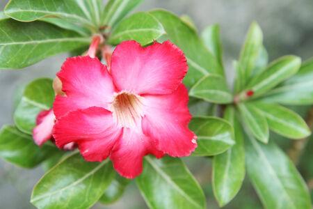 Adenium flower Stock Photo - 26748717