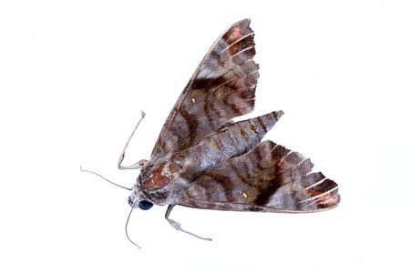 lepidopteran: moth on white background