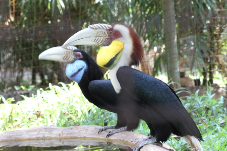 Wreathed Hornbill photo
