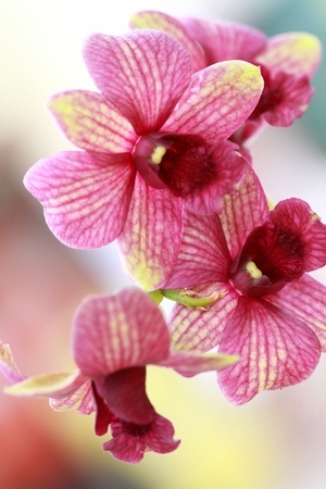 Dendrobium orchid hybrids photo