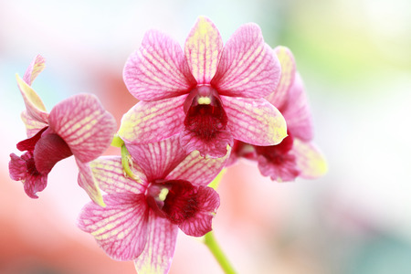Pink flower, Dendrobium orchid hybrids. photo