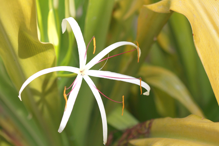 spider lily: Spider Lily