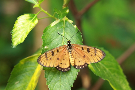 tawny: Tawny Coster Butterfly  Stock Photo