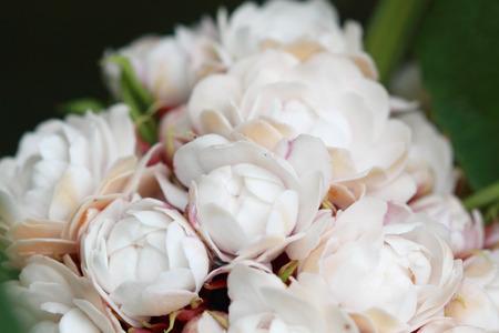 bower: Glory Bower  Clerodendrum chinense