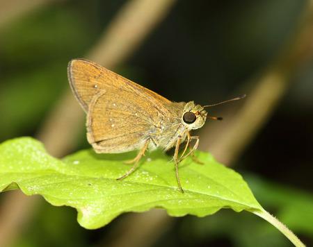 skipper: skipper butterfly