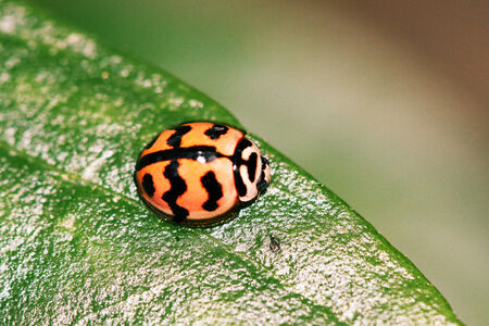 lady beetle: lady bug Stock Photo