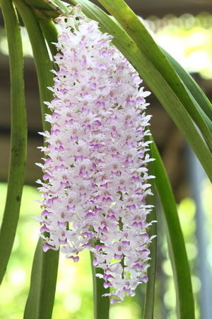 Rhynchostylis retusa photo