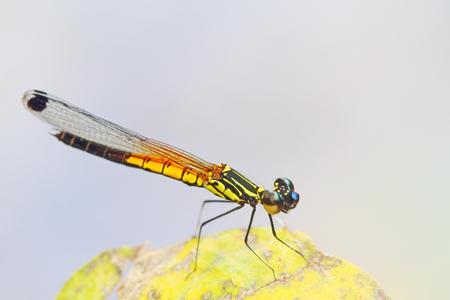 odonata: Dragonfly in nature
