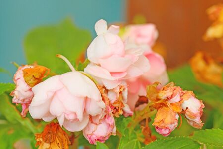 balsam: Garden Balsam Stock Photo