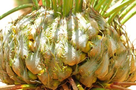 cycad: cycad seeds and fruit