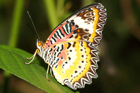 lacewing: The Leopard Lacewing