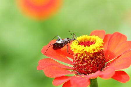 assassin: An assassin bug on Zinnia flower
