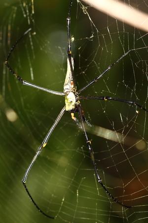golden orb weaver: golden orbweb spider