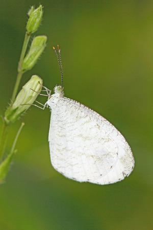 nina: Butterfly Leptosia nina nina. Stock Photo