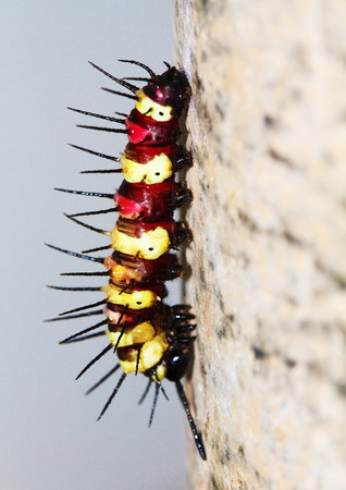 lacewing: caterpillar leopard lacewing Stock Photo