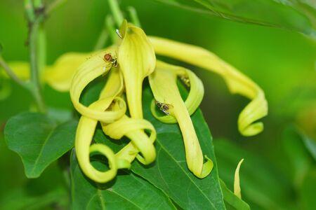 odorous: YlangYlang Flower Stock Photo