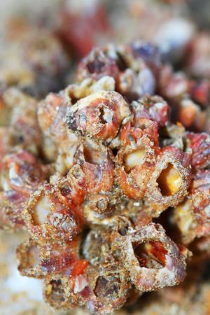 barnacles: