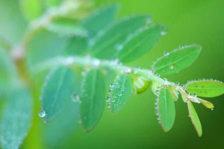 dew: leaves with dew drops