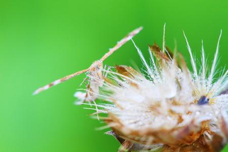 macrophotography: pterophoridae or plume moths Stock Photo