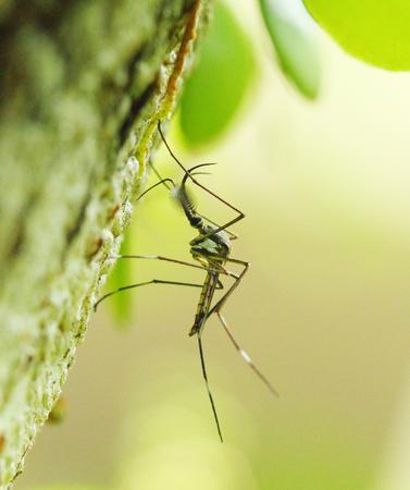 tipulidae: mosquito Stock Photo