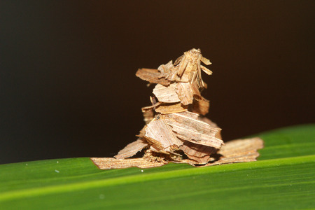 macrophotography: The Common Bag Moth