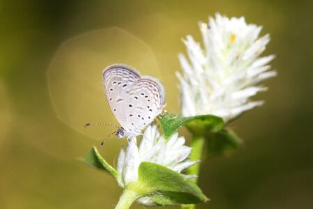 common blue: Common Blue butterfly