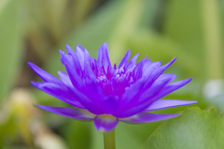 blooming purple: blooming purple water lily Stock Photo