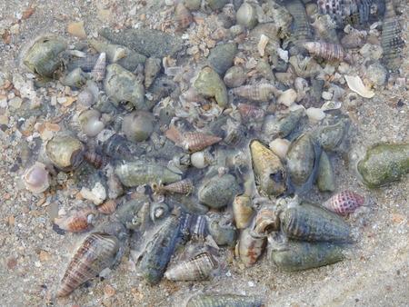 decapod: hermit crab