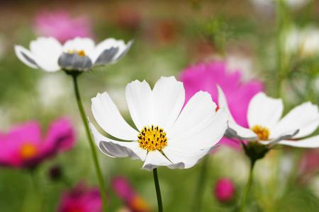Cosmos flowers blooming