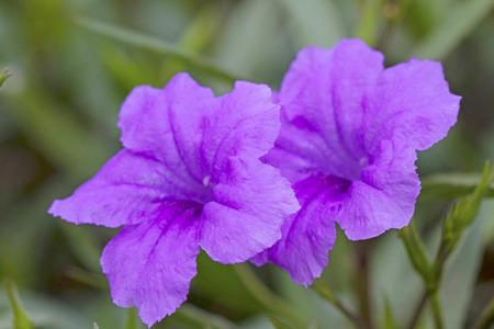 petunias: wild petunias Stock Photo