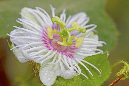 fetid: Passiflora foetida L.