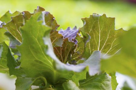hydroponic: Vegetables hydroponic farm Stock Photo