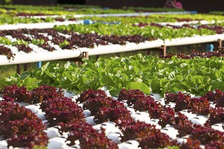soilless cultivation: Vegetables hydroponic farm Stock Photo