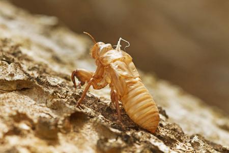 cicada: Shell de la cigarra  Foto de archivo