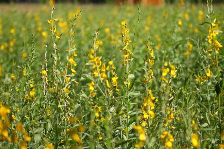yellow Sunhemp flowers Stock Photo