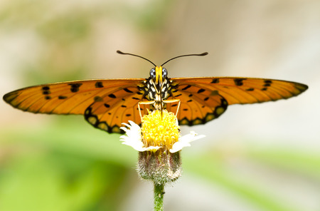 caster: Tawny Caster (Acraeaviolae) on yellow garden flowers Stock Photo