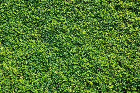 arachis: grass background(Laughing Yell, Arachis pintoi, pinto peanut)