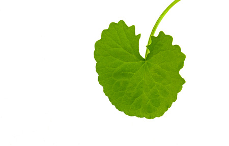 asiatic: Asiatic Pennywort (Centella asiatica ) Stock Photo