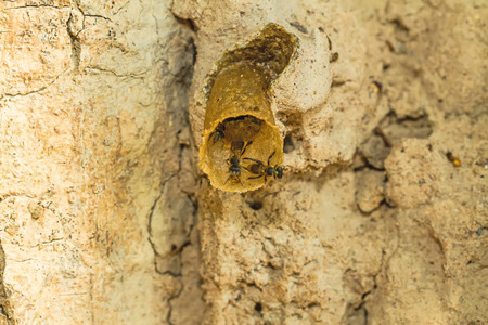 cohesive: Close up black Stingless bee on nest