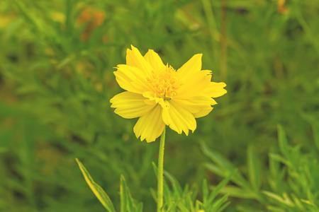 Yellow Cosmos flowerSulfur Cosmos photo