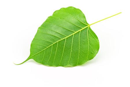 Sacred fig leaf Ficus religiosa L.  Pipal Tree Bohhi Tree Bo Tree Peepul   on white background