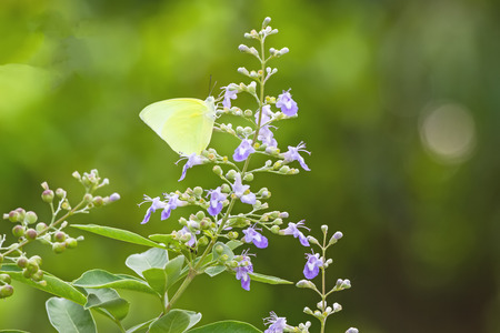 trifolia: Close up white flower Vitex trifolia Linn or Indian Privet is herb in Thailand Stock Photo