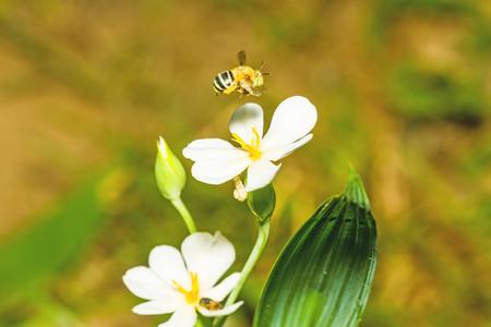 nectar: A bumblebee nectar feeder on a white flower