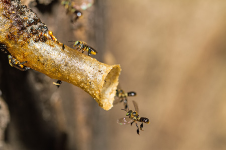 Close up black Stingless bee on nest