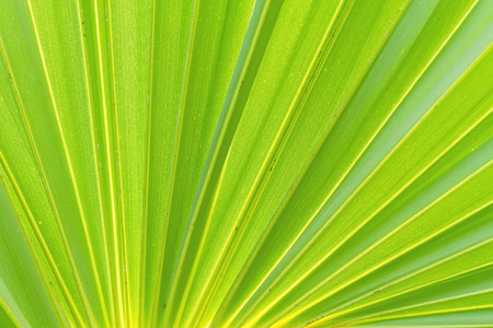 sugar palm: Green sugar palm leaf background