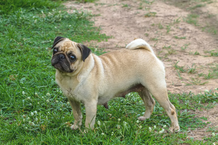 implore: lovely lonely brown pug dog  be standing on green grass